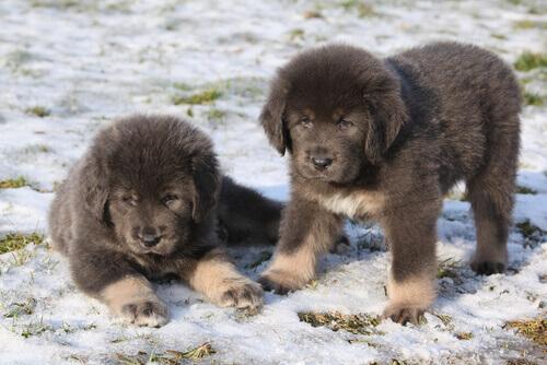 Mastim tibetano: o cão mais caro do mundo