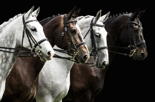 Cavalos Percheron