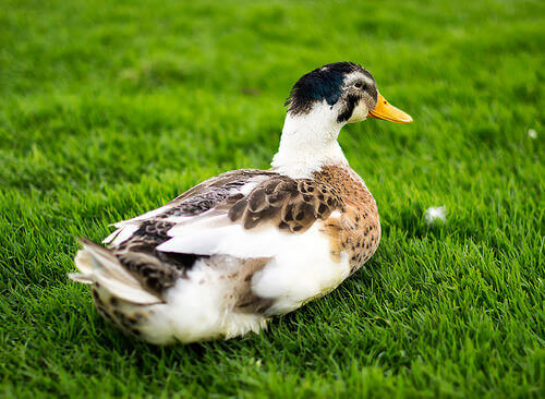 Pato como mascote: companheiro carinhoso