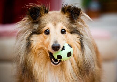 cão com bola na boca