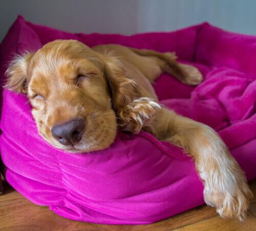 Cocker Spaniel caramelo dormindo em cama rosa