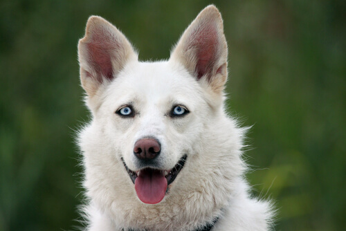 Cachorro branco com os olhos azuis