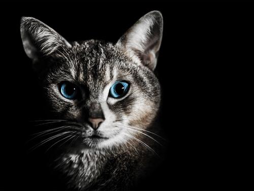 Gato com olhos azuis em destaque