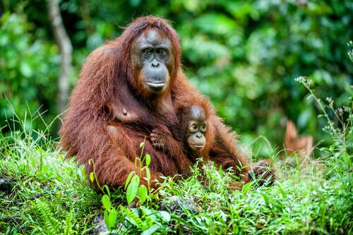 Mãe chimpanzé com seu filhote na selva