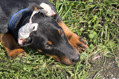 Rottweiler após a cirurgia de corte das orelhas