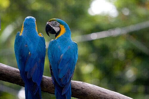 papagaios azuis