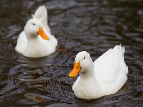 Duplas de patos na lagoa