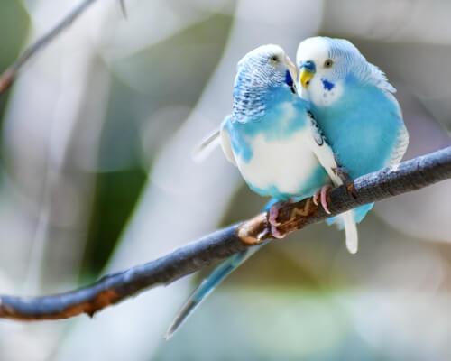 Casal de periquitos azuis e brancos