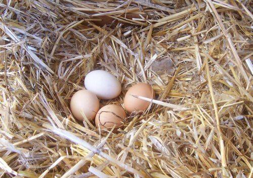 Melhore a qualidade dos ovos de galinha