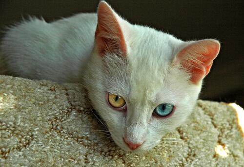 Raças de gatos mais antigas