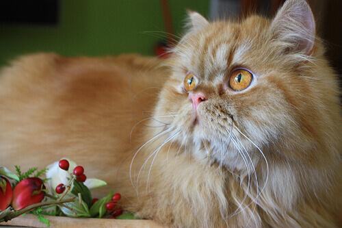 As raças de gatos mais sociáveis