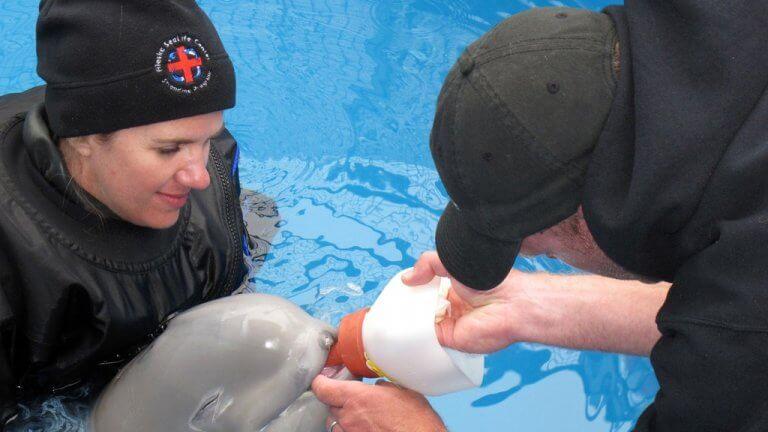 Filhote de beluga resgatado tomando leite na mamadeira