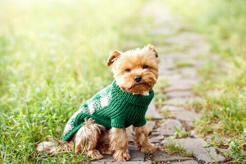 Cachorro usando suéter