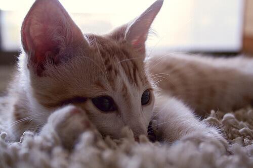 Sons dos gatos: o que significam