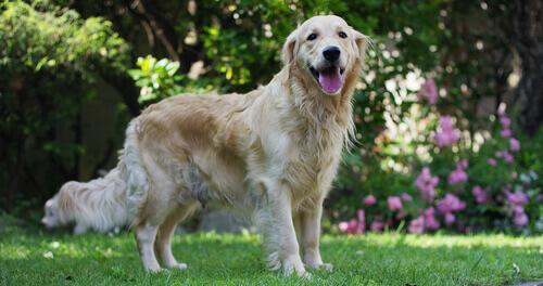 Sopro cardíaco em cães: prevenção e primeiros socorros