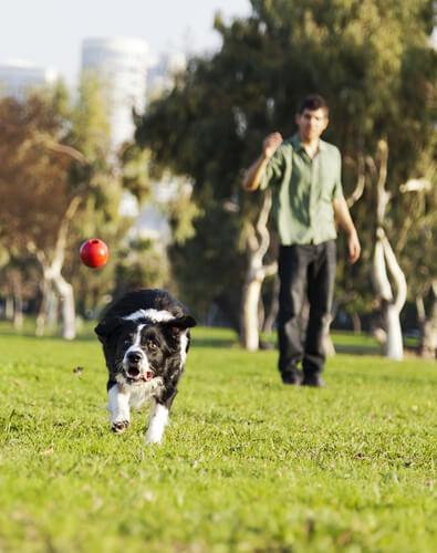 Cachorro no parque indo buscar uma bola jogada pelo dono