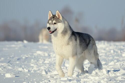Cães do grupo 5: classificação de raças segundo a FCI