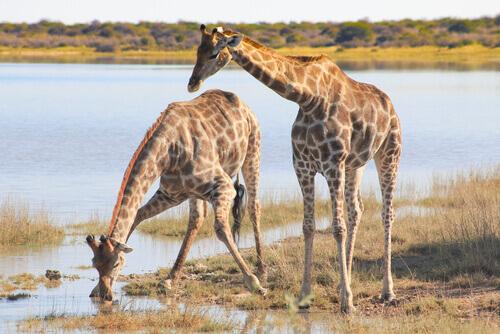 Girafas bebendo água