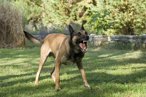 Cachorro latindo com raiva