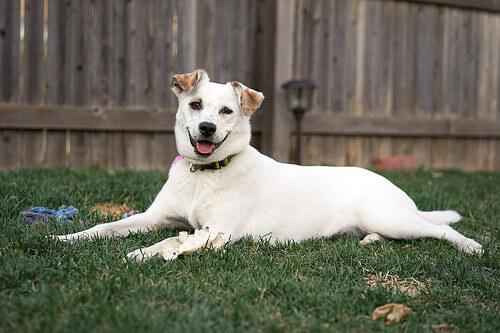 Abdômen agudo em cães: o que é?