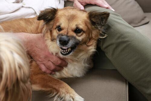 Sintomas de agressividade em cães