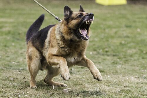Cão começando a mostrar agressividade