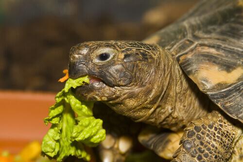 A alimentação ideal de uma tartaruga