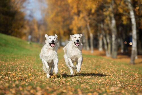 O amor entre cães, eles podem se apaixonar?