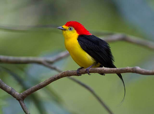 Pássaro rabo-de-arame