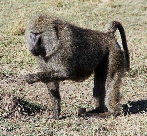 Comportamento e habitat do babuíno