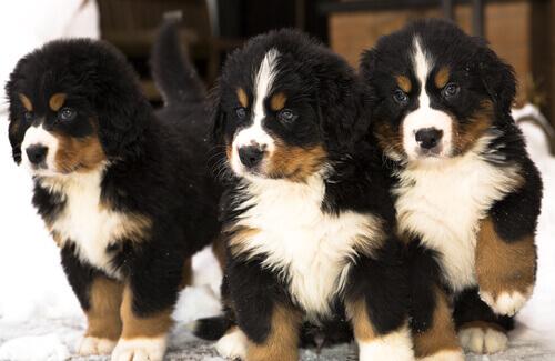 Filhotes de cães boiadeiros
