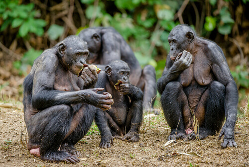 bonobos comendo na natureza