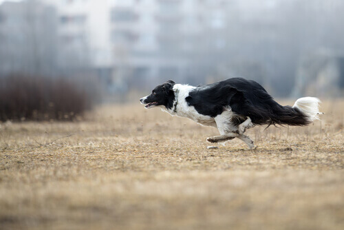 Border collie correndo