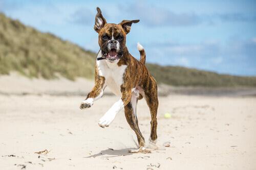 Boxer correndo na praia