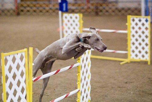 Braco de Weimar durante competição de salto