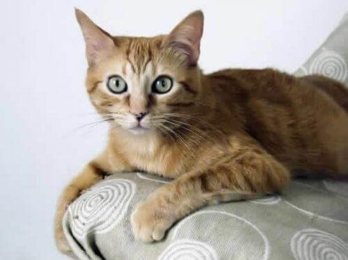 Brasileiro de pelo curto, uma raça de gatos originária das ruas