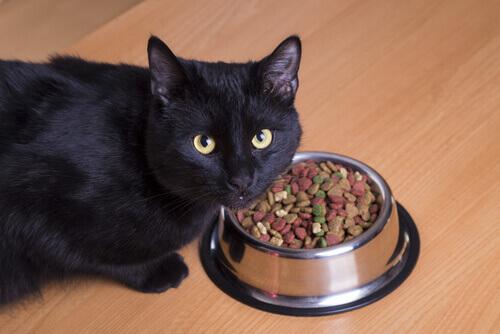 Gato preto comendo ração