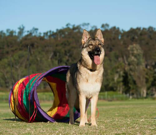 Brincadeiras alternativas para cães sem bolas
