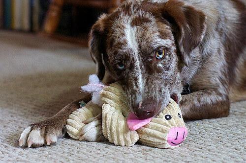Cachorro mordendo brinquedo