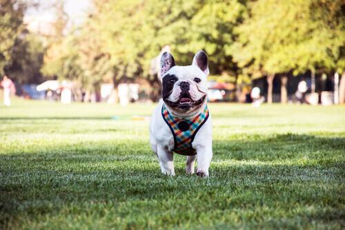 Buldogue francês: Um cão carinhoso e inteligente