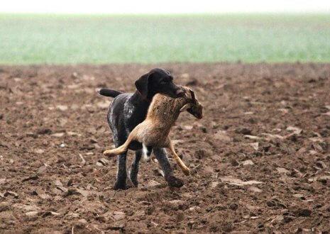 cão é caçador com presa