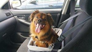 Cachorro viajando de carro