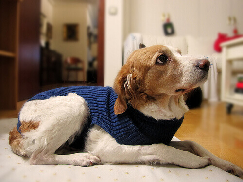 Cachorro com suéter