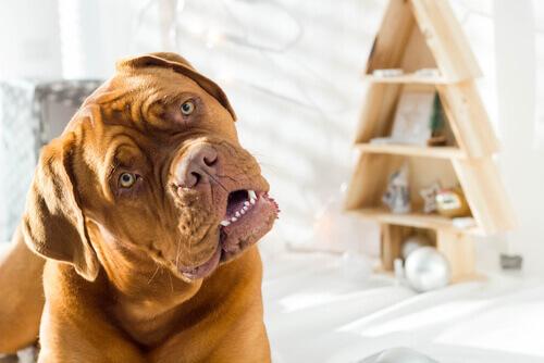 O seu cão inclina a cabeça quando você fala com ele?