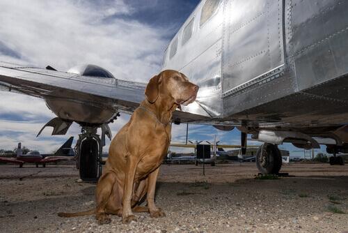 Cães no bagageiro de aviões: tenha cuidado
