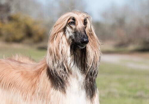 Cães do grupo 10: classificação das raças de acordo com a FCI