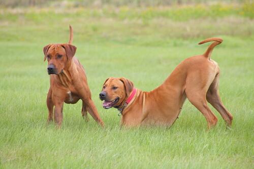 Cães dominantes