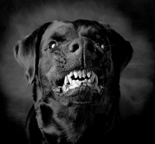 Cães violentos: instinto ou adestramento?