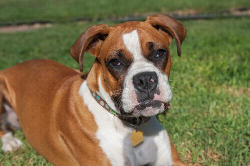 Raças de cães mais populares: Boxer