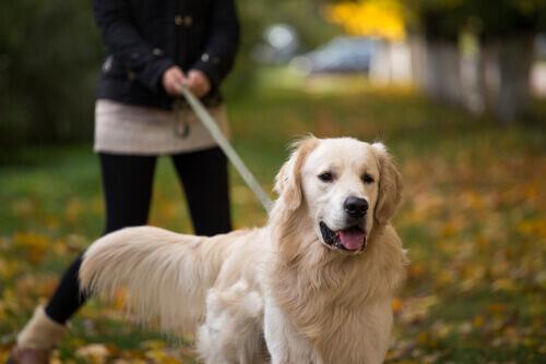 Raças de cães britânicos: o golden retriever